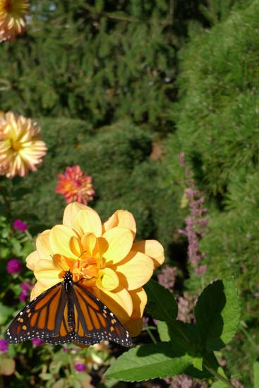 Monarch butterfly at Chicago Botanical Garden by Maike's Marvels