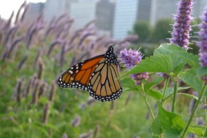 Monarch butterfly at Millennium Park by Maike's Marvels