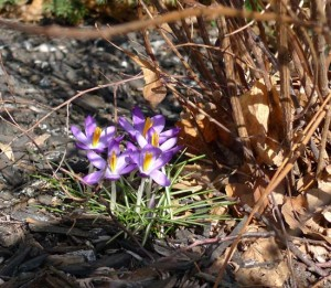 crocuses by Maike's Marvels