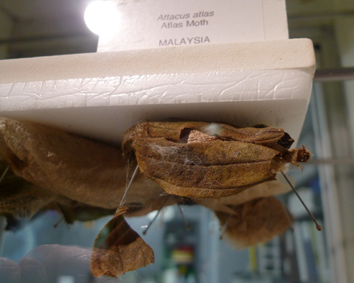 Atlas Moth hatchery