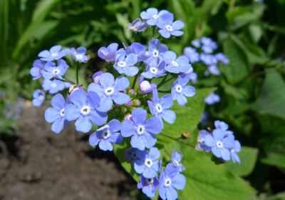 forgetmenuts