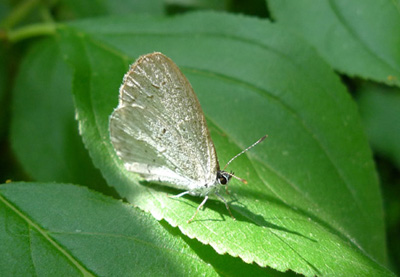 EOZebraHairstreak
