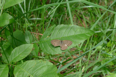 spottedbfly