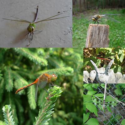 DragonfliesOveryears400
