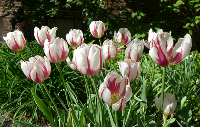 womensclubtulips