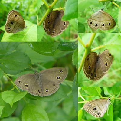 ShyButterfly