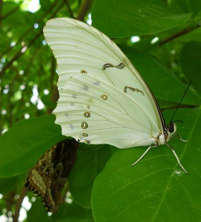 WhiteBlueMorpho