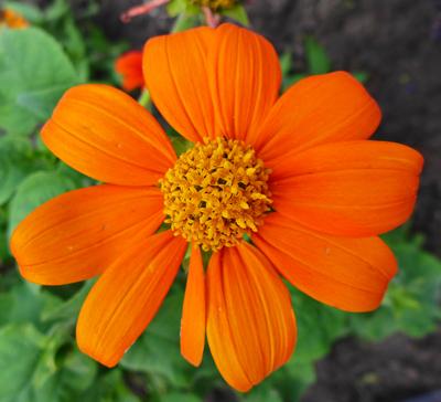 OranjeBloem