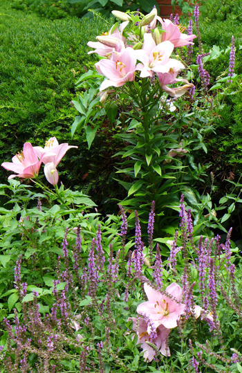 liliespink