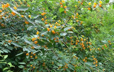 oranjeberries