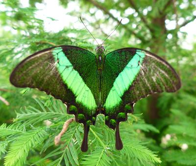 Greenglimmer