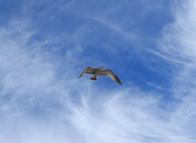 flyinggull