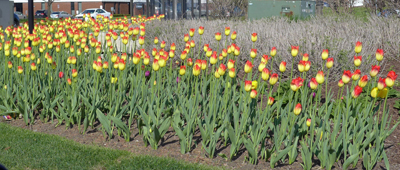 redtippedyellowtulips