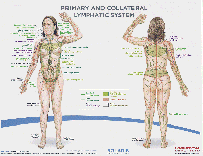 lymph_system_SOLARIS_1200_wide