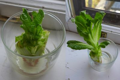 growingromaine