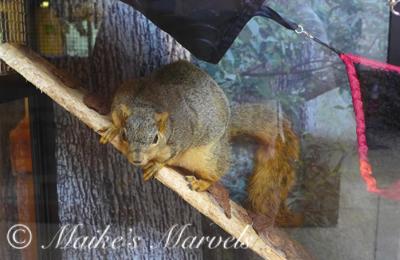 FoxSquirrel2