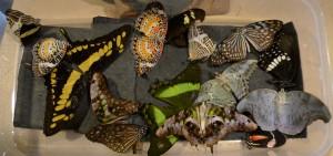 relaxed butterflies
