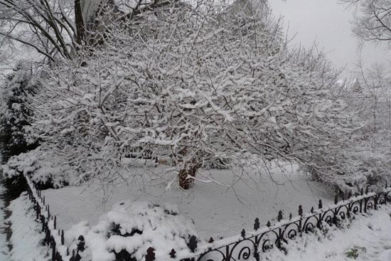 whitetree1