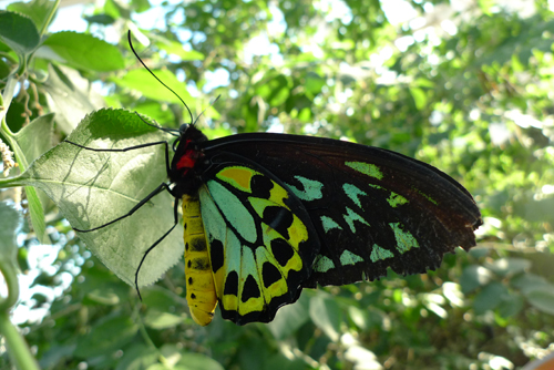 Cairns Birdwing butterfly at Istock Haven
