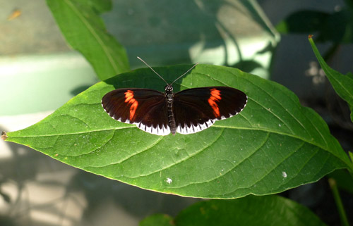 lace longwing