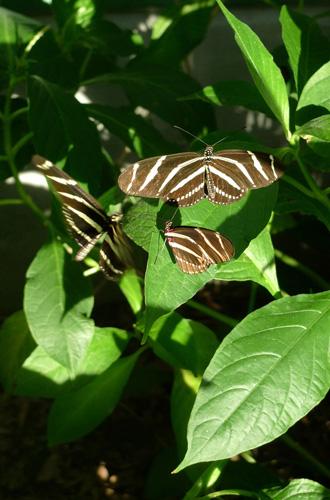 zebralongwings