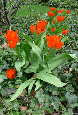 tulipsred