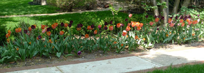 tuliprow2