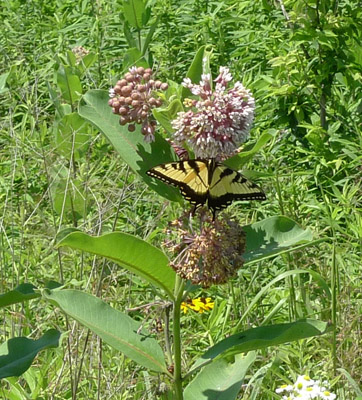 08Swallowtail