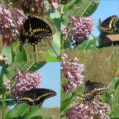 DarkSwallowtail