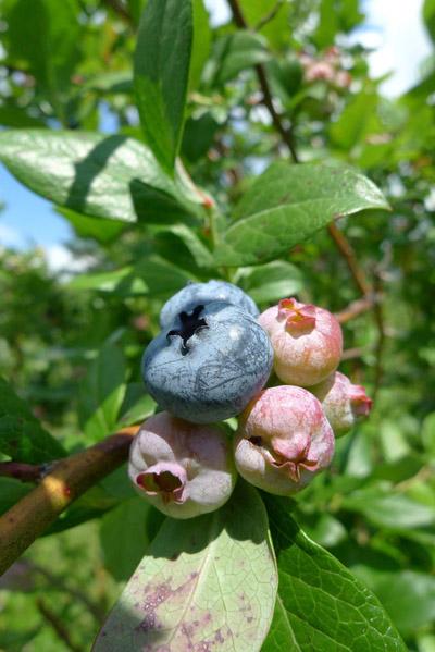 bluberrypink