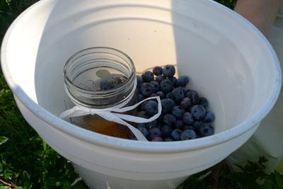 blueberryspicked