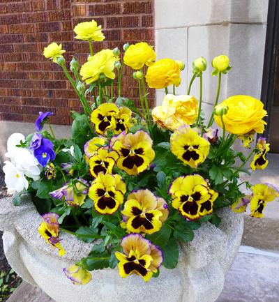 yellowpansies