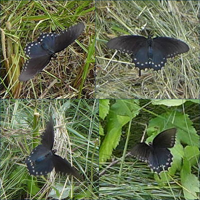 24_VermillionRiverTrailSwallowtail