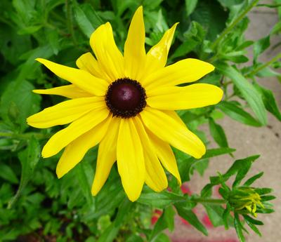 tussledflower