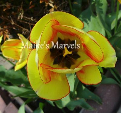 tulipface-1