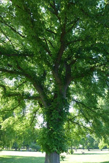 verdanttree