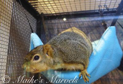 FoxSquirrel1