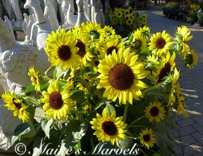 gooseflowers